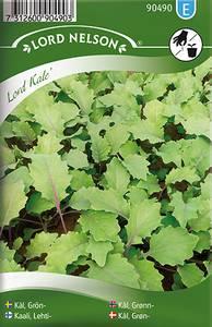 Bilde av Grønnkål 'Lord Kale' - Brassica oleracea