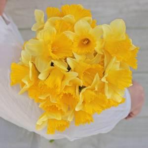 Bilde av Påskelilje 'Ballade' - Narcissus - 10 stk
