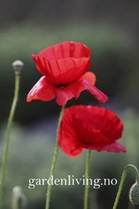 Bilde av Valmue, korn- Papaver rhoeas - Organic