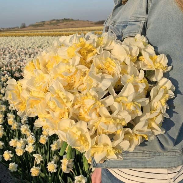 Påskelilje 'Westward' - Narcissus - 10 stk