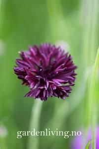 Bilde av Kornblomst 'Double Black' - Centaurea cyanus