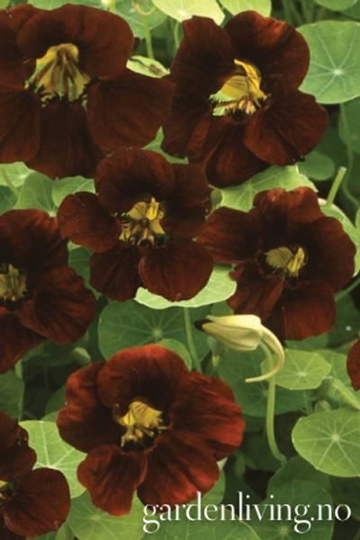 Blomkarse 'Black Velvet' - Tropaeolum majus, lav