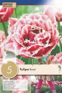 Bilde av Tulipan 'Brest', Frynsetulipan - 5 stk