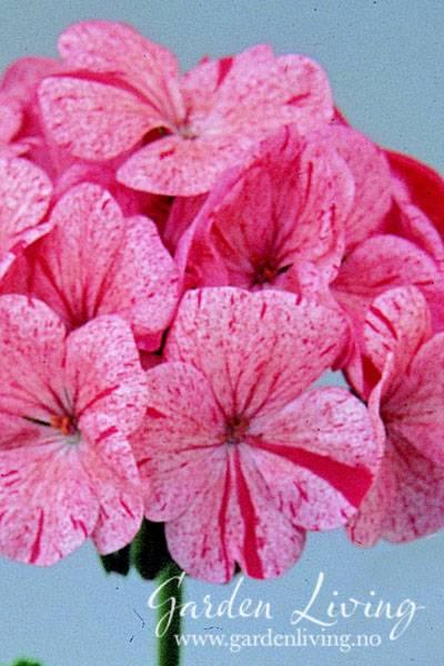 Pelargonium 'Raspberry Ripple' F1