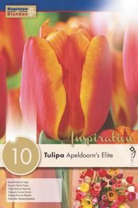 Bilde av Tulipan 'Apeldoorn's Elite', Darwinhybrid - 10 stk