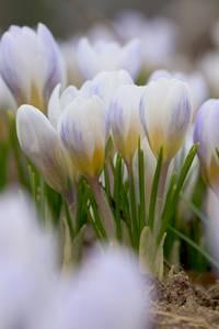 Bilde av Begerkrokus 'Blue Pearl' - Crocus chrysanthus - 25 stk