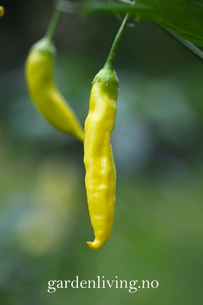 Chilipepper 'Havana Gold' - Capsicum annuum
