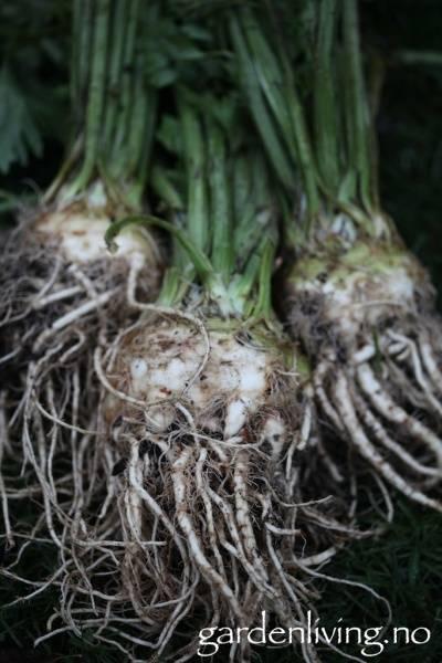 Sellerirot/knollselleri 'Prinz' - Organic