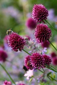 Bilde av Kuleløk - Allium sphaerocephalon - 25 løk