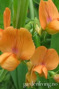 Bilde av Flammeskolm - Lathyrus belinensis 'Mrs. R. Penney'