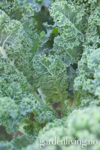 Bilde av Grønnkål 'Half Tall' - Brassica oleracea