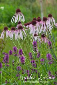 Bilde av Solhatt, blek - Echinacea pallida