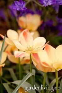Bilde av Lintulipan 'Bronze Charm' - Tulipa batalinii - 10 stk