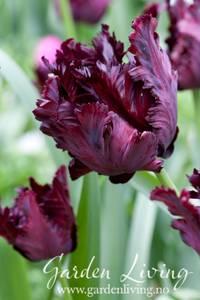 Bilde av Tulipan 'Black Parrot', Papegøyeblomstrende - 6 stk