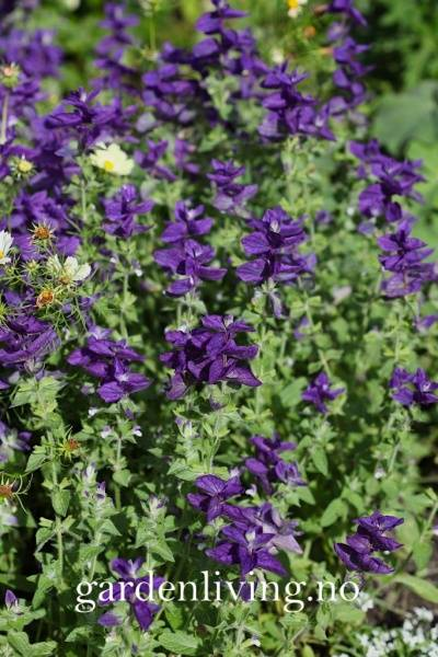 Salvie, dusk- 'Blue Denim' - Salvia viridis