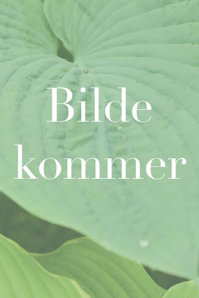 Blomsterert 'Bristol Cream' - Lathyrus odoratus
