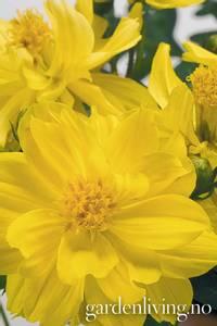 Bilde av Pyntekorg 'Limara Lemon' - Cosmos sulphureus