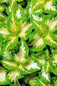Bilde av Praktspragle 'Wizard® Jade' - Solenostemon blumei