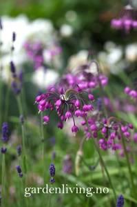 Bilde av Prærieløk - Allium cernuum - 5 stk