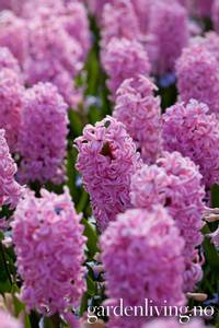 Bilde av Svibel 'Fondant' - Hyacinthus - 4 stk