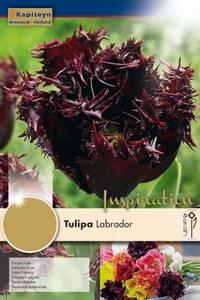 Bilde av Tulipan 'Labrador', Frynsetulipan - 8 stk