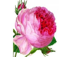 Bilde av NHM Minikort, dobbelt med konvolutt - Rosa centifolia