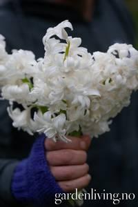 Bilde av Svibel 'Snow Crystal' - Hyacinthus - 4 stk