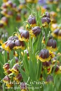 Bilde av Mikaelskrone - Fritillaria michailovskyi - 5 stk