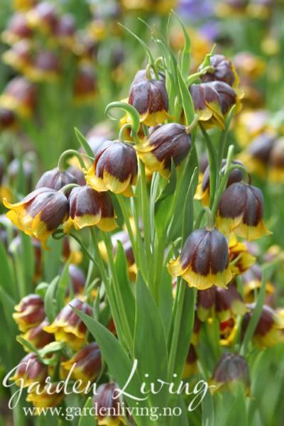 Mikaelskrone - Fritillaria michailovskyi - 5 stk