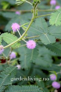 Bilde av Sanseplante/Rør meg ikke - Mimosa pudica