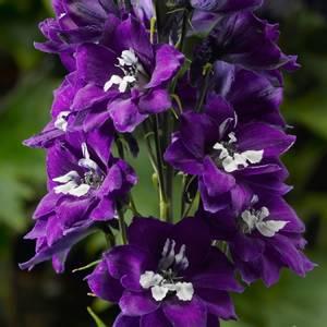 Bilde av Ridderspore 'Delphina Violet Blue' - Delphinium