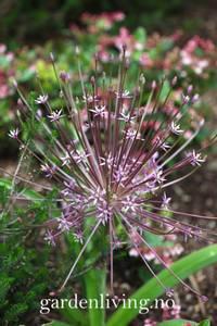 Bilde av Prydløk - Allium shubertii - 4 stk