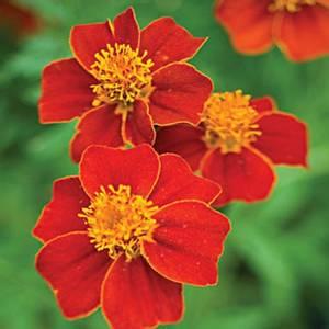 Bilde av Fløyelsblomst 'Red Gem' signet- - Tagetes tenuifolia