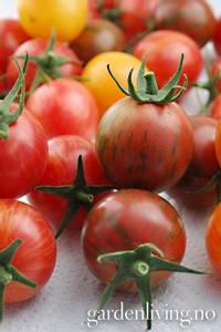 Bilde av Tomat, Drivhus- cocktail 'Artisan Bumble Bee Mixed'