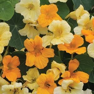 Bilde av Blomkarse 'Butterscotch', lav - Tropaeolum majus