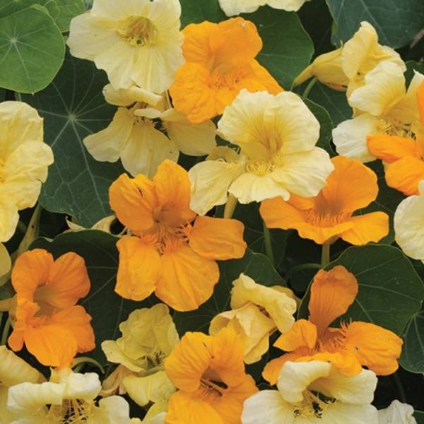 Blomkarse 'Butterscotch', lav - Tropaeolum majus