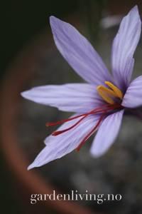 Bilde av Safrankrokus - Crocus sativus - 15 stk