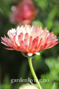 Bilde av Ringblomst 'Bronzed Beauty' - Calendula officinalis