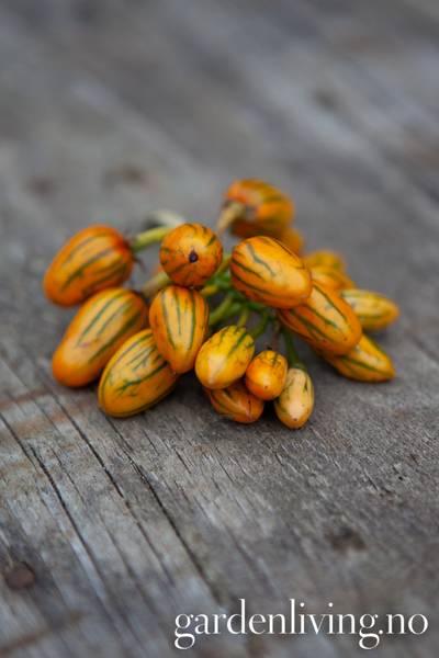 Aubergine 'Striped Toga', afrikansk - Solanum aethiopicum