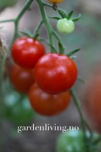 Bilde av Tomat, Drivhus- cocktail 'Gardener's Delight'