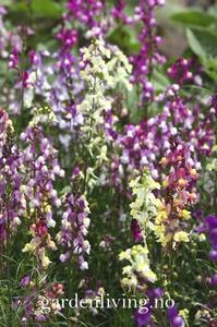 Bilde av Torskemunn, sommer- 'Fairy Bouquet' - Linaria maroccana