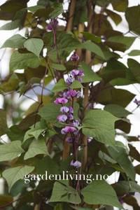 Bilde av Hjelmbønne - Lablab purpureus