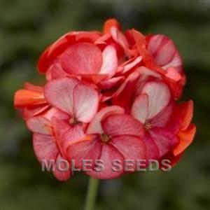 Bilde av Pelargonium 'Maverick™ Scarlet Picotee' F1