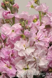 Bilde av Levkøy 'Cherry Blossom Punch' - Matthiola incana