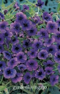 Bilde av Monopsis debilis 'Regal Purple'