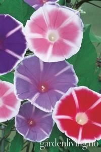 Bilde av Vindel, trikolor 'Mt. Fuji Mixed' - Convolvulus tricolor