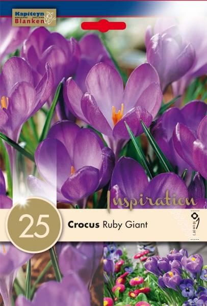 Snøkrokus 'Ruby Giant' - Crocus tommasinianus - 25 stk