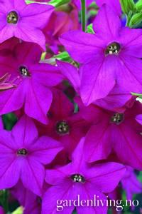 Bilde av Tobakk, pryd- 'Perfume Bright Rose' - Nicotiana x hybrida