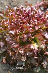 Bilde av Salat, Lollo- 'Lollo Rossa' - Lactuca