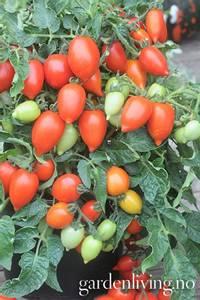 Bilde av Tomat, Drivhus- busk 'Funnyplum Red'